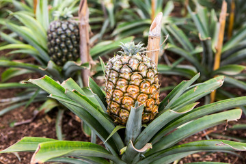 Single ripe pineapple growing in the field. Fresh pineaple fruit on bush with leaves