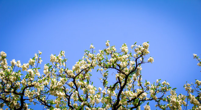 Spring Background with white tree blossom