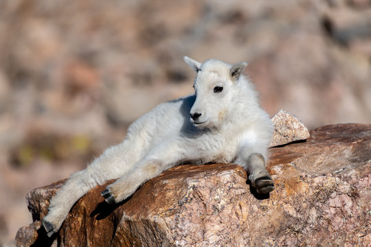 Mountain Goat Kid Lounging In the Rocky Mountains of Colorado