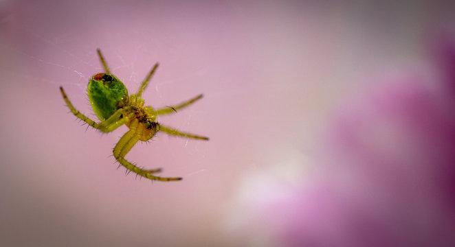 Spider in a Tulip (closer)
