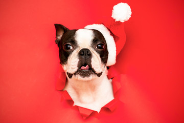 Fototapeten Französisch bulldog The head of a Boston Terrier dog looks through a hole in red paper and wears a Santa hat.Creative. Minimalism. The concept of a New year.Creative art.