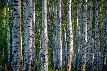 Birch grove in the Russian outback