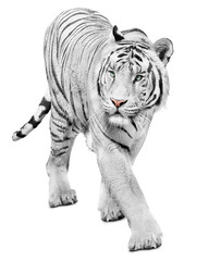 Majestic white tiger isolated on white background