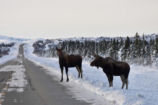 Moose on a snowy Alaska road