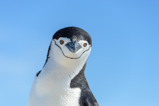 Chinstrap penguin on the beach in Antarctica close up