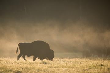 Photo sur Toile Buffalo European bison - Bison bonasus in the Knyszyn Forest (Poland)
