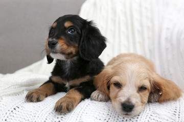 Spoed Fotobehang Hond Cute English Cocker Spaniel puppies on soft plaid