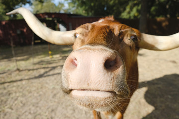 Wall Mural - Funny Texas Longhorn cow with big nose close up on farm.
