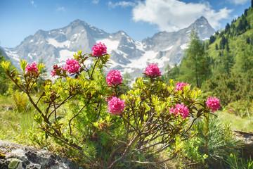 Fototapete - Alpenrosen in den Zillertaler Alpen mit Gletscher im Hintergrund