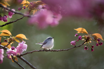 A Blue-gray Gnatcatcher perched in a branch full of light pink cherry blossoms as it glows in the soft evening sunlight with a smooth background.