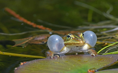Printed roller blinds Frog Pool frogs (Pelophylax lessonae) in Polesie National Park, Poland - Kleiner Wasserfrosch (Pelophylax lessonae) im Nationalpark Polesie, Polen