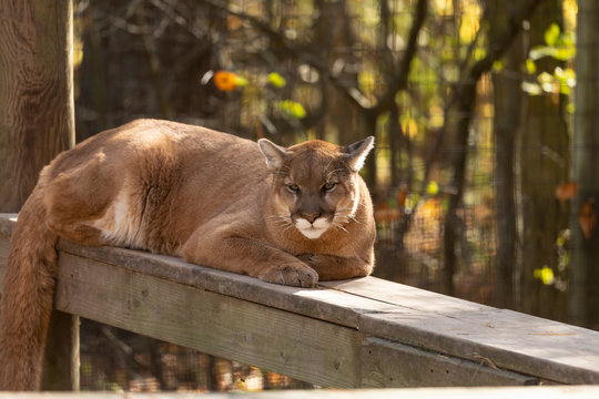 Young  cougar (Puma concolor) ,known as Mountain lion in the ZOO.