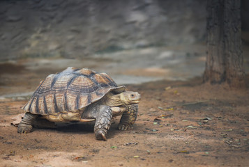 Photo sur Aluminium Tortue African spurred tortoise / Close up turtle walking