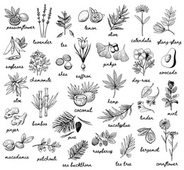 Ink vector vintage illustration whit plats used in cosmetic, medicine and aromatherapy. Big set with 30 various thypes. Black and white sketchy engraving style. Fruits, herbs, spices and vegetables.