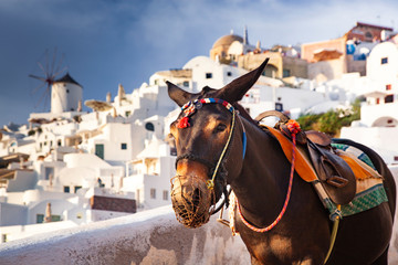 Foto op Canvas Ezel donkey portrait in Santorini, Greece