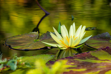 Wall Murals Water lilies Isolated water lily closeup at summer day