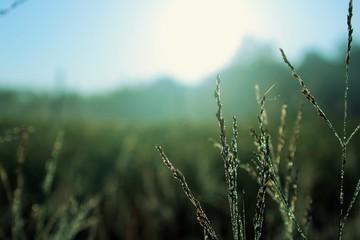 some dews on grass 1