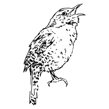 Isolated vector illustration. Wren bird. Hand drawn linear sketch. Black silhouette on white background.