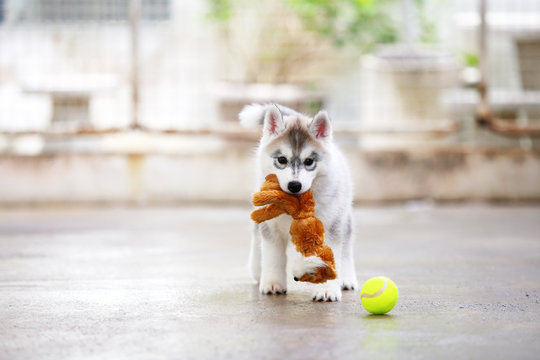 Siberian Husky puppy gray and white colors play with doll and tennis ball. Puppy hold toy in mouth.