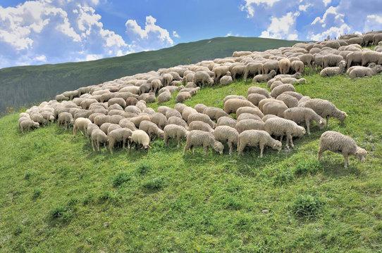 flock of sheep grazing in alpine mountain