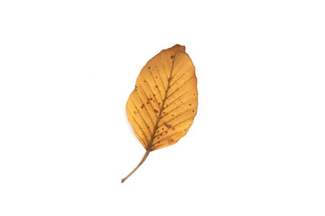 Wall Mural - autumn leaf isolated on white background