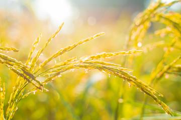 Foto auf AluDibond Orange Water Droplet on Rice Ear,Beautiful rice fields