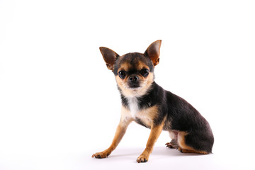 Studio shot of mini chihuahua with big ears & bulging eyes sitting over isolated background. Portrait of short-haired black white and brown miniature doggy. Close up, copy space.