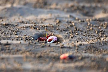 Uca vocans, Fiddler Crab walking in mangrove forest At bassien Beach Mumbai  Maharashtra India.
