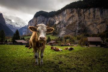 Cow in idyllic Lauterbrunnental in Switzerland / Kuh im idyllischen Schweizer Lauterbrunnental