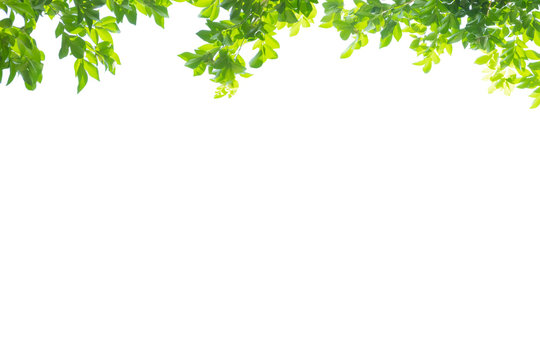 Fresh green spring for the top border on white background for decoration. Copy space for characters.