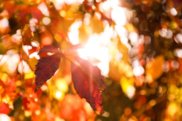 Poster Orange eclat Tree branch with sunlit bright leaves in park, closeup. Autumn season