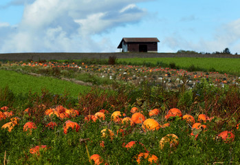 Pumpkins are pictured in a field on an autumn morning near Oulens
