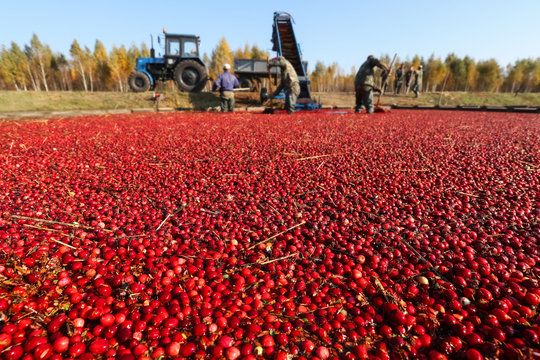 Cranberries floating on the water against the background of working farmers