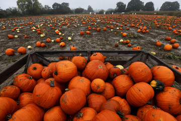 Pumpkins sit in a container after being picked at the Colchester Pumpkin Patch in Aldham