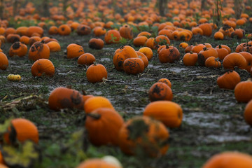Pumpkins sit on a field ready to be picked at the Colchester Pumpkin Patch in Aldham