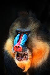 Obraz portrait of mandrill - fototapety do salonu