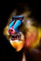 Wall Mural - portrait of a mandrill showing his teeth