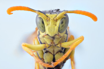 Close up of wasp insect