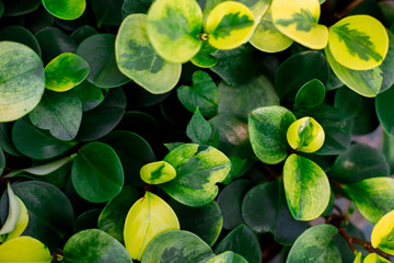 Peperomia obtusifolia texture. Creative layout made of green leaves. Nature background