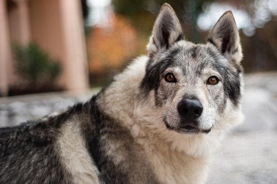 portrait of a czechoslovakian adult wolfdog