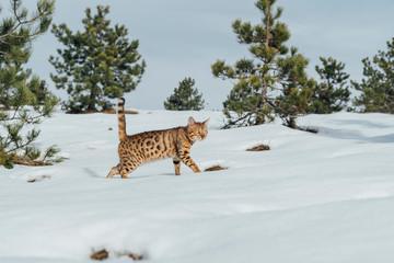 Bengal cat in wilderness