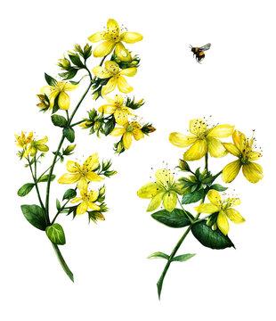 St. John's wort (Hypericum perforatum)  Watercolor hand drawn botanical illustration isolated on white background. Yellow flower.