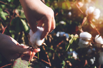 collecting cotton from field at sunset