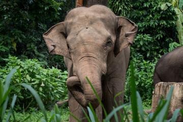 Foto op Canvas Olifant sumatrean elephant