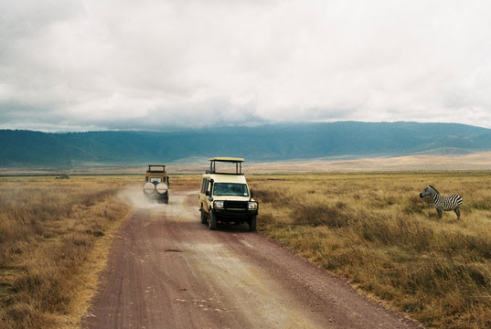Zebras and Jeep on road