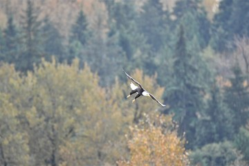 A picture of a Bald eagle mid flight, aiming for fish in the lake.     Vancouver BC Canada