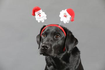 Labrador mit Weihnachtsmütze und Weihnachsbaumkugeln