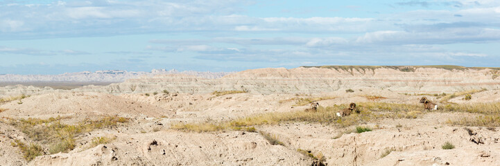 Bighorn Sheep Panonramic
