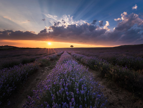 Scenic view of lavender field during sunset