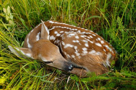 Fawn sleeping in grass